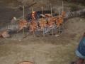 les poulet qui cuisse pour le repas du campement