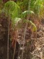 pandanusse palmier tres long
