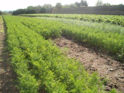 Parcelle cultiver en carotte